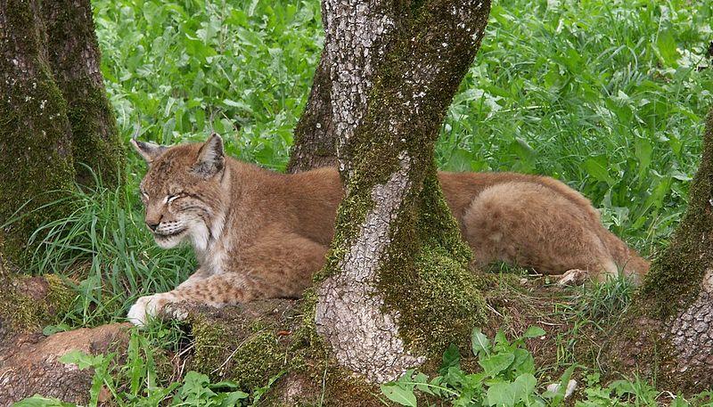 Parc animalier de Gramat By Julien 31 (Own work) CC-BY-SA-3.0 via Wikimedia Commons