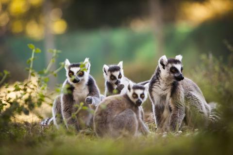 Lemuriens Zoo labenne