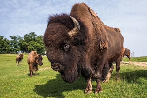 La ferme aux bisons