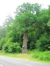 Le Chêne des Suédois