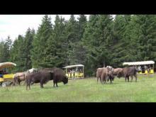 Réserve de bisons d'Europe de Sainte-Eulalie en vidéo