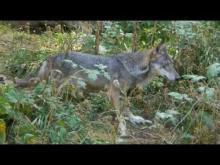 Alpha, le Temps du Loup en vidéo