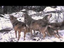 Parc animalier des Monts de Guéret Les Loups de Chabrières en vidéo