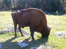 Réserve de bisons d'Europe de Sainte-Eulalie By Lubman04 (Own work) CC BY-SA 3.0 via Wikimedia Commons