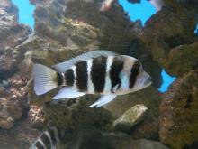 Aquarium tropical de Pierrefitte-Nestalas By Père Igor (Own work) CC BY-SA 3.0 via Wikimedia Commons