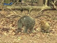 La montagne des singes en vidéo