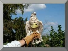 vidéo de la volerie des aigles